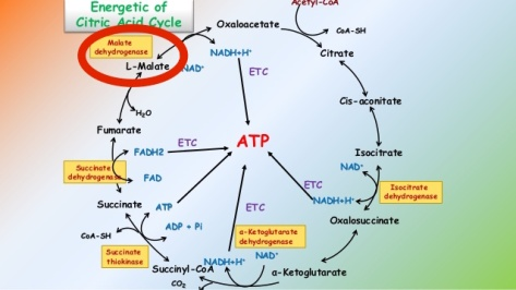 citric-acid-cycle-4-638