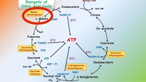 citric-acid-cycle-4-638