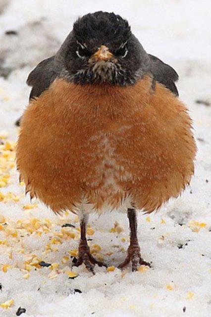 fat-robin